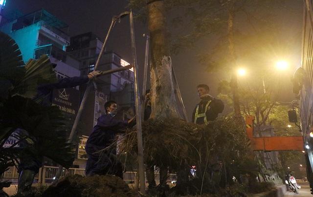 Hà Nội bất ngờ nhổ bỏ hàng trăm cây phượng trong đêm - 5