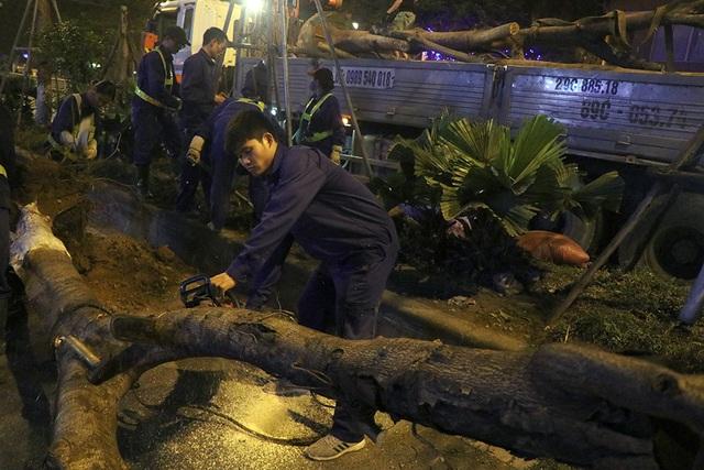 Hà Nội bất ngờ nhổ bỏ hàng trăm cây phượng trong đêm - 6