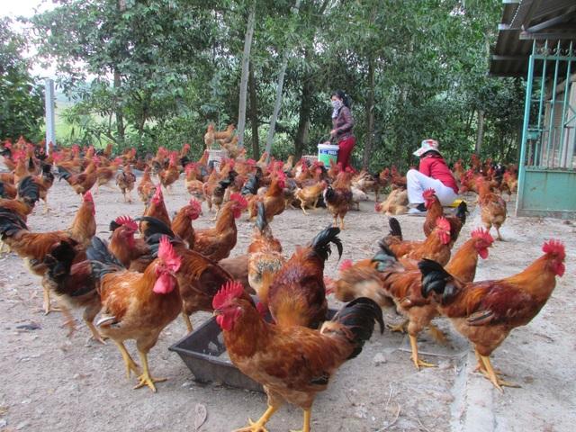 Bỏ nghề tài xế về nuôi gà, thu lãi 150 triệu đồng/năm - 2