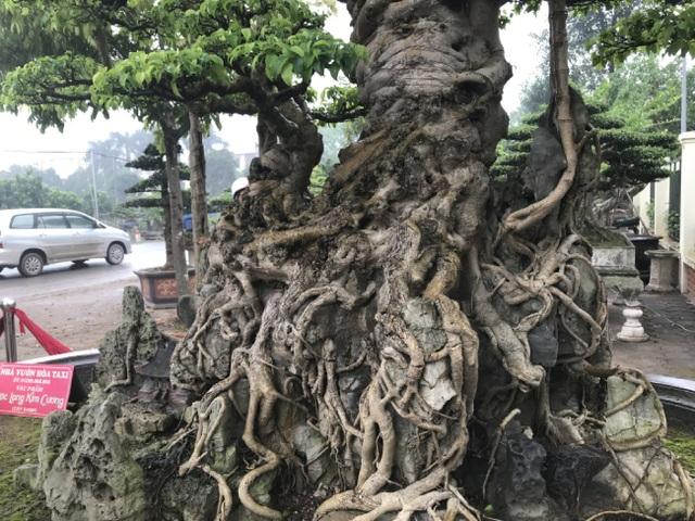 Chiêm ngưỡng cây sanh hàng trăm tuổi có giá triệu đô ở Hưng Yên - 15