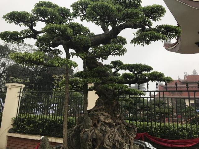 Chiêm ngưỡng cây sanh hàng trăm tuổi có giá triệu đô ở Hưng Yên - 2