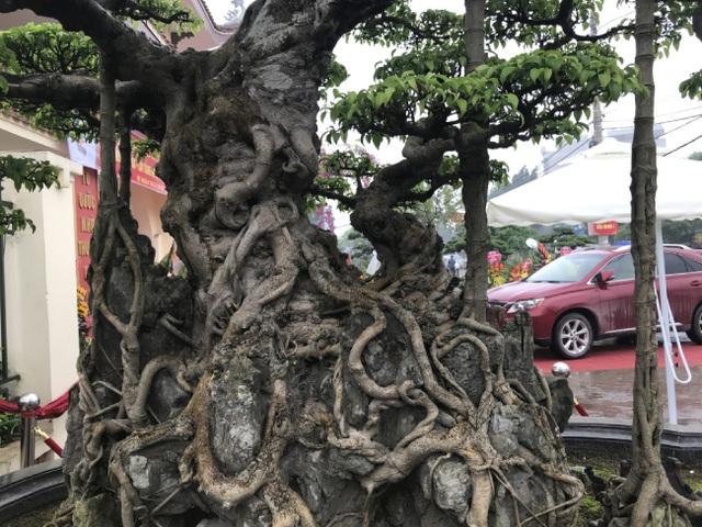 Chiêm ngưỡng cây sanh hàng trăm tuổi có giá triệu đô ở Hưng Yên - 3