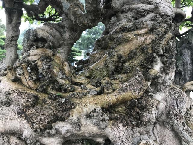 Chiêm ngưỡng cây sanh hàng trăm tuổi có giá triệu đô ở Hưng Yên - 4