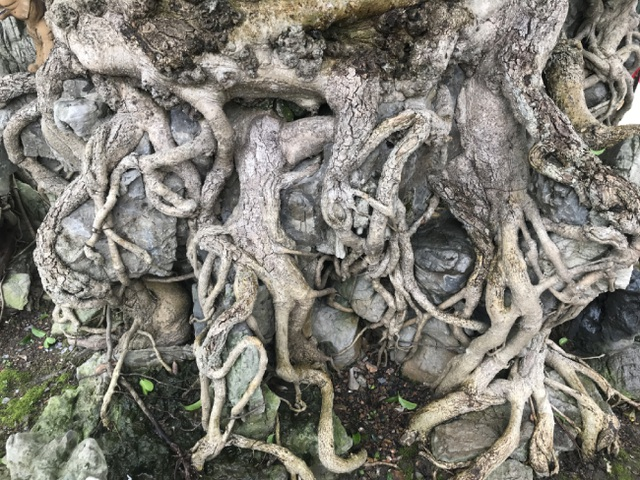 Chiêm ngưỡng cây sanh hàng trăm tuổi có giá triệu đô ở Hưng Yên - 5