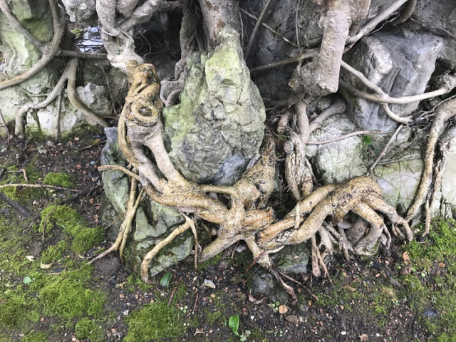 Chiêm ngưỡng cây sanh hàng trăm tuổi có giá triệu đô ở Hưng Yên - 9