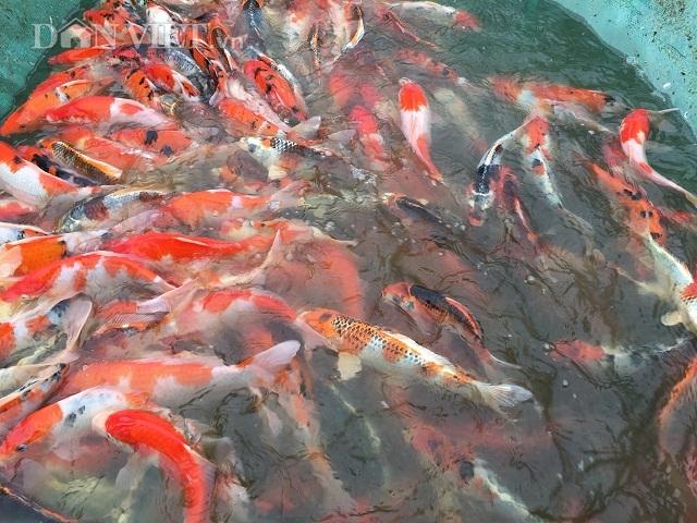 Hải Phòng: Kỹ sư bỏ lương cao về quê nuôi quốc ngư Nhật Bản - 4