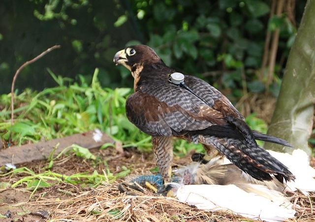 Thú chơi chim ăn thịt đi săn mồi độc đáo ở Hà Nội - 5
