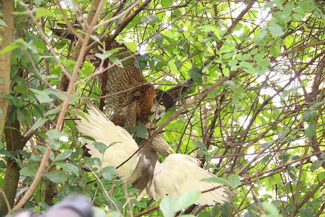 Thú chơi chim ăn thịt đi săn mồi độc đáo ở Hà Nội - 4