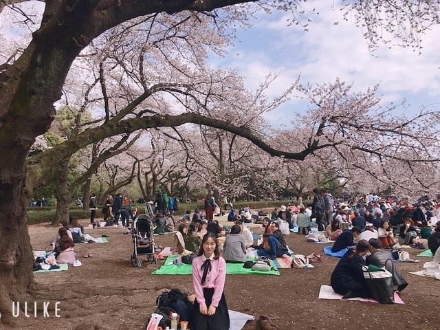 Ngắm hoa anh đào nở - Ngẫm về sự thanh cao, khiêm nhường của người Nhật - 3
