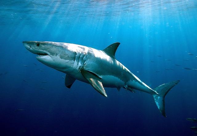 Cá mập trắng lớn đuổi theo hải cẩu qua rừng tảo bẹ - 1