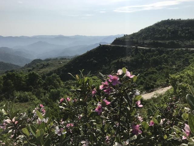 Quảng Ngãi: Hoa sim nở tím một góc trời trên thảo nguyên Bùi Hui - 1