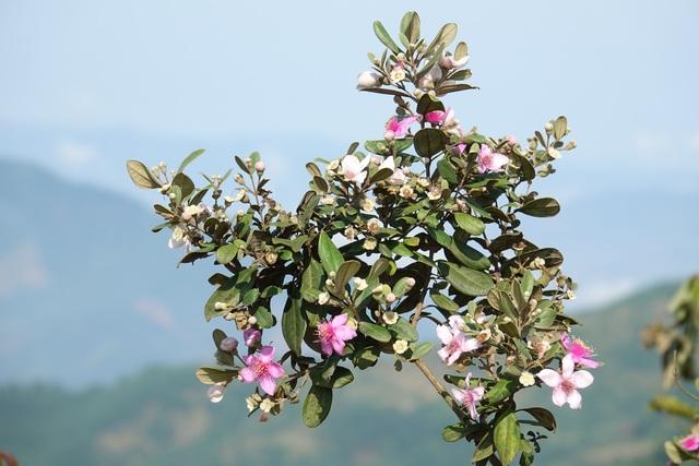 Quảng Ngãi: Hoa sim nở tím một góc trời trên thảo nguyên Bùi Hui - 3