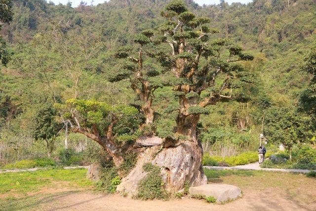 Kỳ lạ những cây cổ thụ được xem như báu vật, trả tiền tỷ cũng không bán - 11