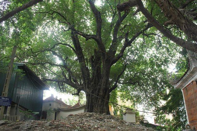 Kỳ lạ những cây cổ thụ được xem như báu vật, trả tiền tỷ cũng không bán - 4