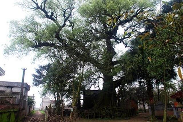 Kỳ lạ những cây cổ thụ được xem như báu vật, trả tiền tỷ cũng không bán - 7