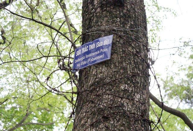 Kỳ lạ những cây cổ thụ được xem như báu vật, trả tiền tỷ cũng không bán - 15
