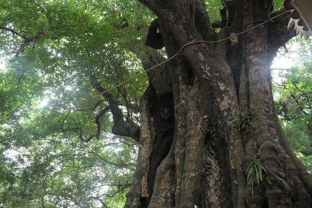 Kỳ lạ những cây cổ thụ được xem như báu vật, trả tiền tỷ cũng không bán - 6