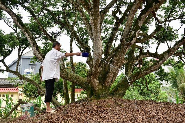 Kỳ lạ những cây cổ thụ được xem như báu vật, trả tiền tỷ cũng không bán - 2