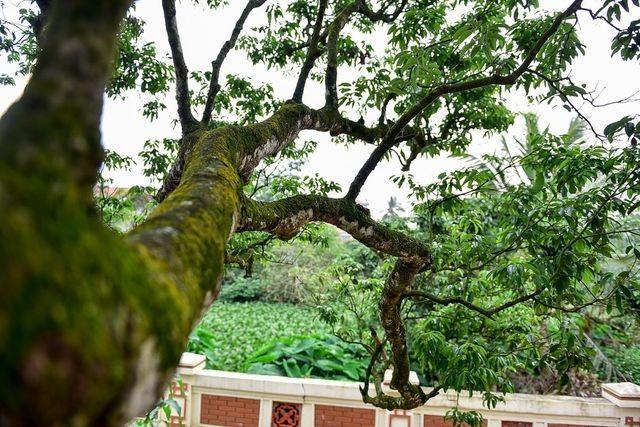 Kỳ lạ những cây cổ thụ được xem như báu vật, trả tiền tỷ cũng không bán - 3