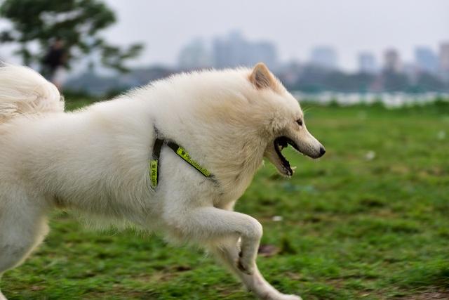 Nhiều người dân Hà Nội quen thả rông chó không rọ mõm - 8
