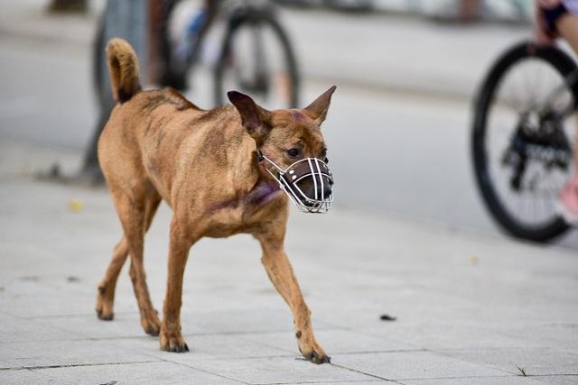 Nhiều người dân Hà Nội quen thả rông chó không rọ mõm - 12