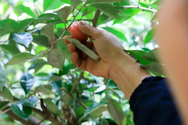 Nông dân Hà Nội tất bật thu hoạch nhót chín - 4