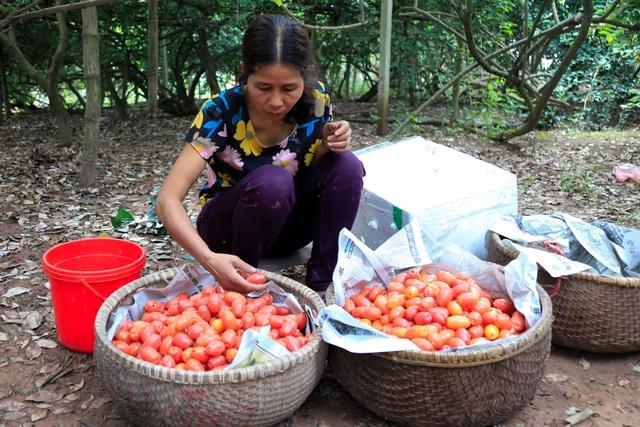 Nông dân Hà Nội tất bật thu hoạch nhót chín - 8
