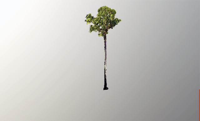 Phát hiện cây cao nhất thế giới có chiều dài hơn một sân bóng đá - 1
