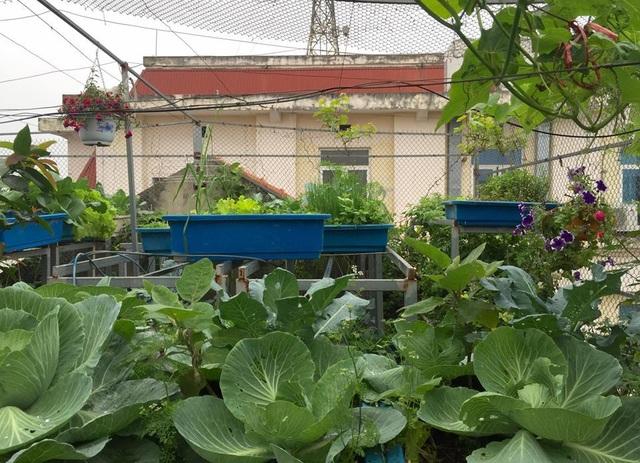 Trồng 8 gốc cà chua trên sân thượng, mẹ đảm Hà Nội thu 30kg/vụ - 2