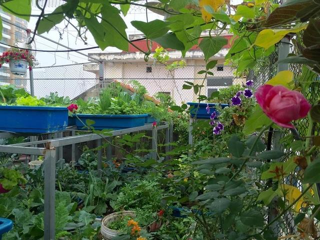 Trồng 8 gốc cà chua trên sân thượng, mẹ đảm Hà Nội thu 30kg/vụ - 1