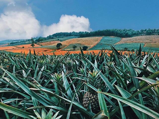"""Check-in cánh đồng dứa đẹp hút mắt, khiến dân phượt phát """"sốt"""" ở Ninh Bình - 3"""