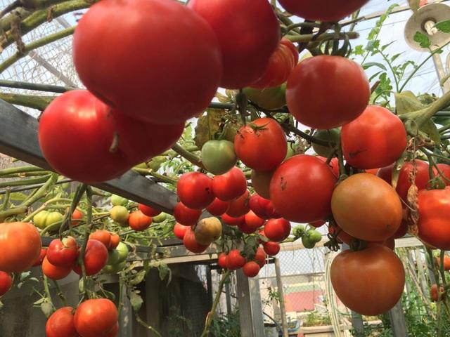 Trồng 8 gốc cà chua trên sân thượng, mẹ đảm Hà Nội thu 30kg/vụ - 6