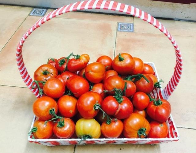 Trồng 8 gốc cà chua trên sân thượng, mẹ đảm Hà Nội thu 30kg/vụ - 11