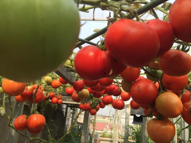 Trồng 8 gốc cà chua trên sân thượng, mẹ đảm Hà Nội thu 30kg/vụ - 5