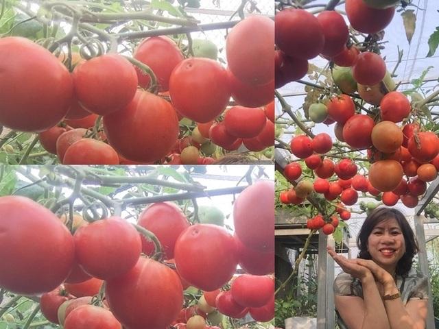 Trồng 8 gốc cà chua trên sân thượng, mẹ đảm Hà Nội thu 30kg/vụ - 10
