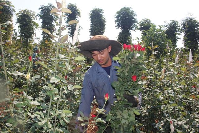 Thanh niên 9X trồng hoa hồng xứ Bắc trên phố núi, thu hàng trăm triệu đồng mỗi năm - 3