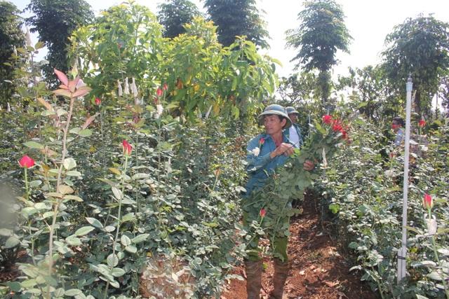 Thanh niên 9X trồng hoa hồng xứ Bắc trên phố núi, thu hàng trăm triệu đồng mỗi năm - 2
