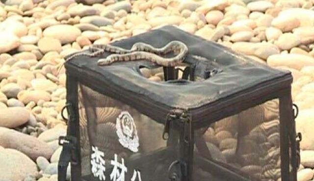 Phóng sinh 40kg rắn ra ngoài môi trường để cầu may - 2