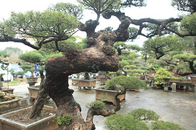 Ra tay giải cứu hàng chục cụ cây, người đàn ông có ngay vườn bonsai triệu đô - 10