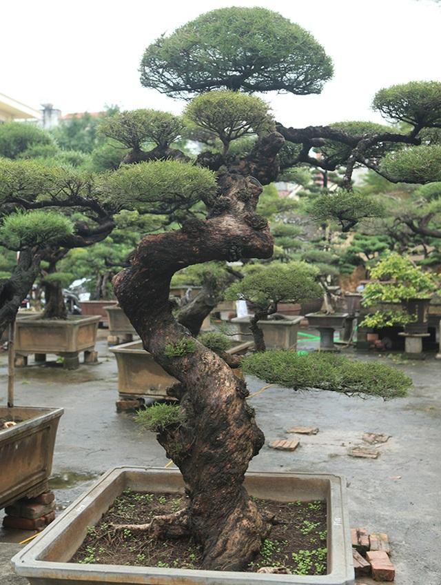 Ra tay giải cứu hàng chục cụ cây, người đàn ông có ngay vườn bonsai triệu đô - 3