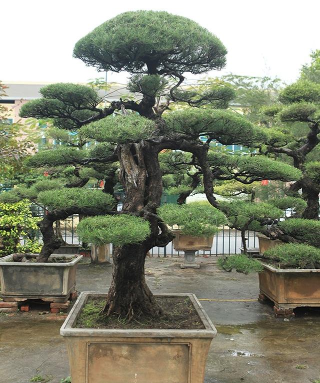 Ra tay giải cứu hàng chục cụ cây, người đàn ông có ngay vườn bonsai triệu đô - 4