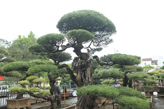 Ra tay giải cứu hàng chục cụ cây, người đàn ông có ngay vườn bonsai triệu đô - 5