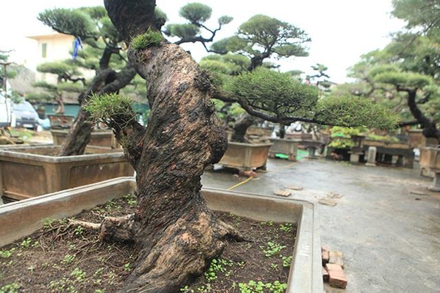 Ra tay giải cứu hàng chục cụ cây, người đàn ông có ngay vườn bonsai triệu đô - 7