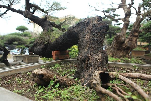 Ra tay giải cứu hàng chục cụ cây, người đàn ông có ngay vườn bonsai triệu đô - 9