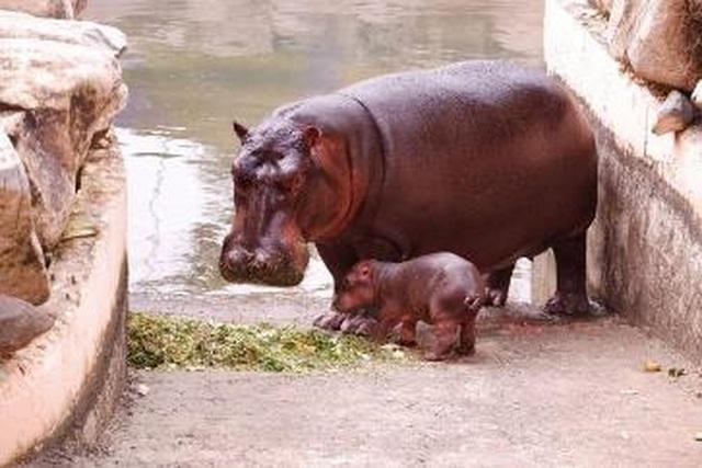 """Liên tiếp thú hiếm sinh nở tại """"ngôi nhà động vật năm châu"""" Vinpearl Safari - 5"""