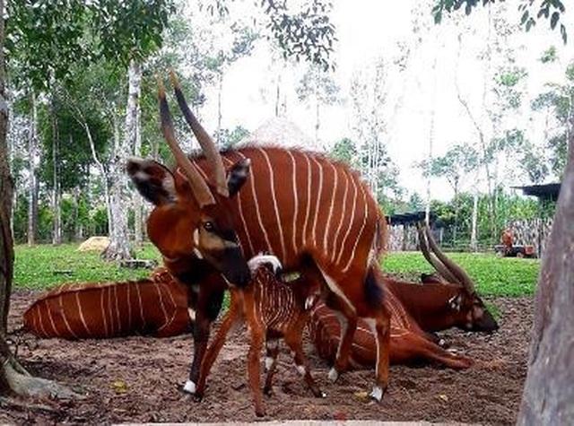 """Liên tiếp thú hiếm sinh nở tại """"ngôi nhà động vật năm châu"""" Vinpearl Safari - 6"""