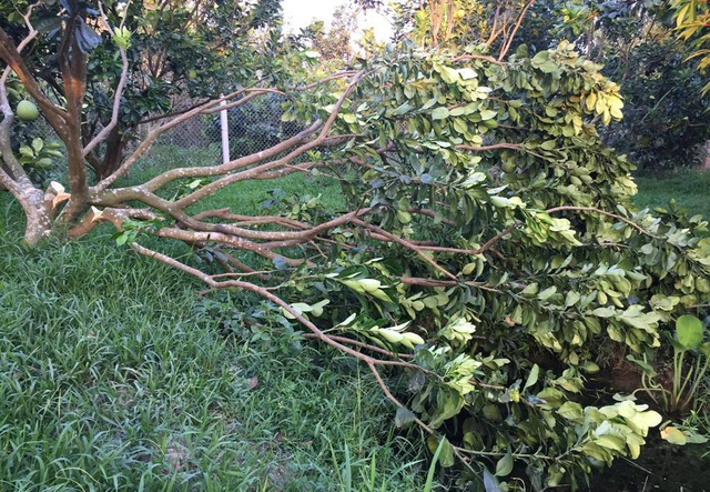 Hơn 60 gốc bưởi Năm Roi sắp thu hoạch bị chặt phá tan hoang - 1