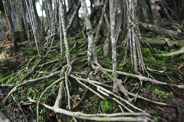 Dành cả thanh xuân tạo tác cây sanh cổ, kết quả thu được khiến ai cũng mê - 10