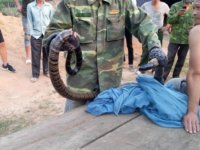 Truy được nguồn gốc rắn hổ mang cực độc dài hơn 2m, nặng hơn 6kg - 3