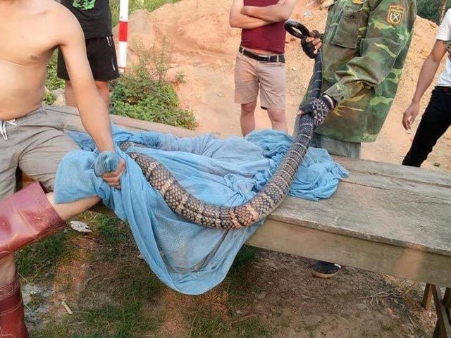 Truy được nguồn gốc rắn hổ mang cực độc dài hơn 2m, nặng hơn 6kg - 2